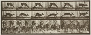 Eadweard Muybridge (American, 1830-1904), Animal Locomotion, Plate #681, 1887, collotype, gift of the Commercial Museum, Department of Commerce, Philadelphia, Pa., 62.41.50.