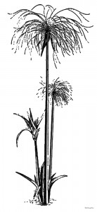 2500 BCE Cyperus Papyrus, a plant native to the Nile Delta in Egypt, was the source of the writing material used widely throughout the ancient Mediterranean.