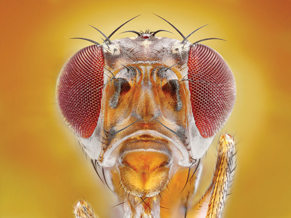 Why Fruit Fly Research is No Joke | Helix Magazine