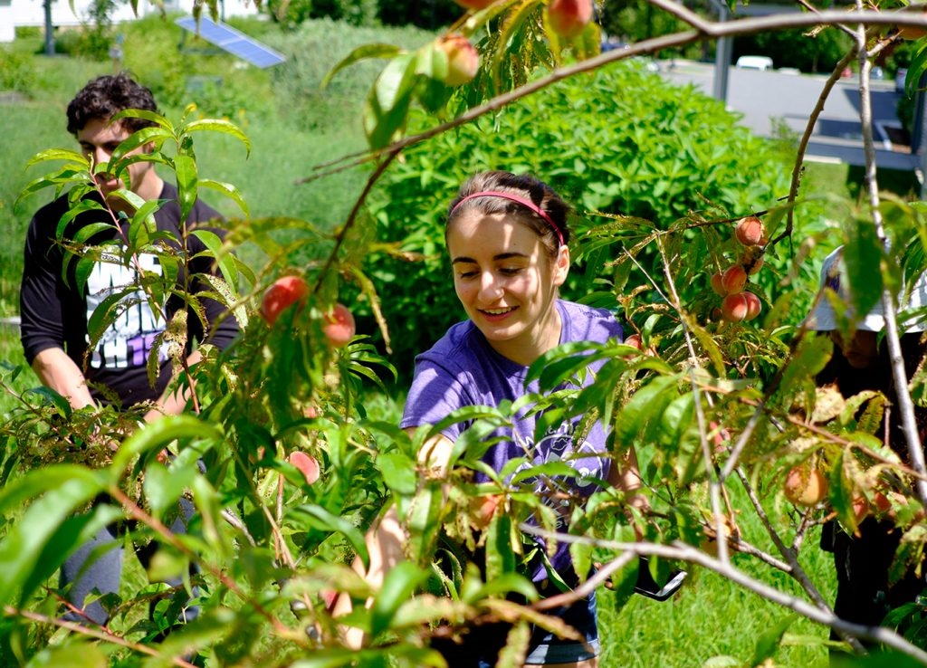 A Zilkha intern is seen through the leaves and limbs of a tree as she picks peaches from the orchard near the Zilkha Center.