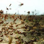 Photograph of a locust swarm