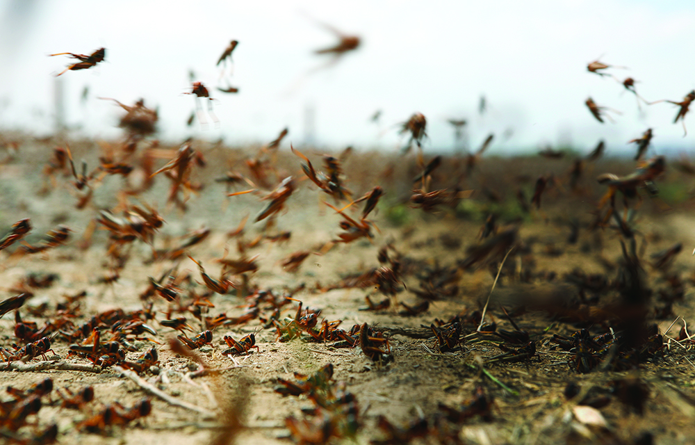 A photo of swarming locusts.