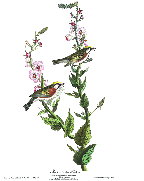 Audubon plate of Chestnut-sided Warbler