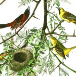 Audubon plate of the Orchard Oriole