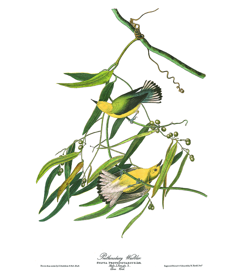 Audubon plate of Prothronolary Warbler