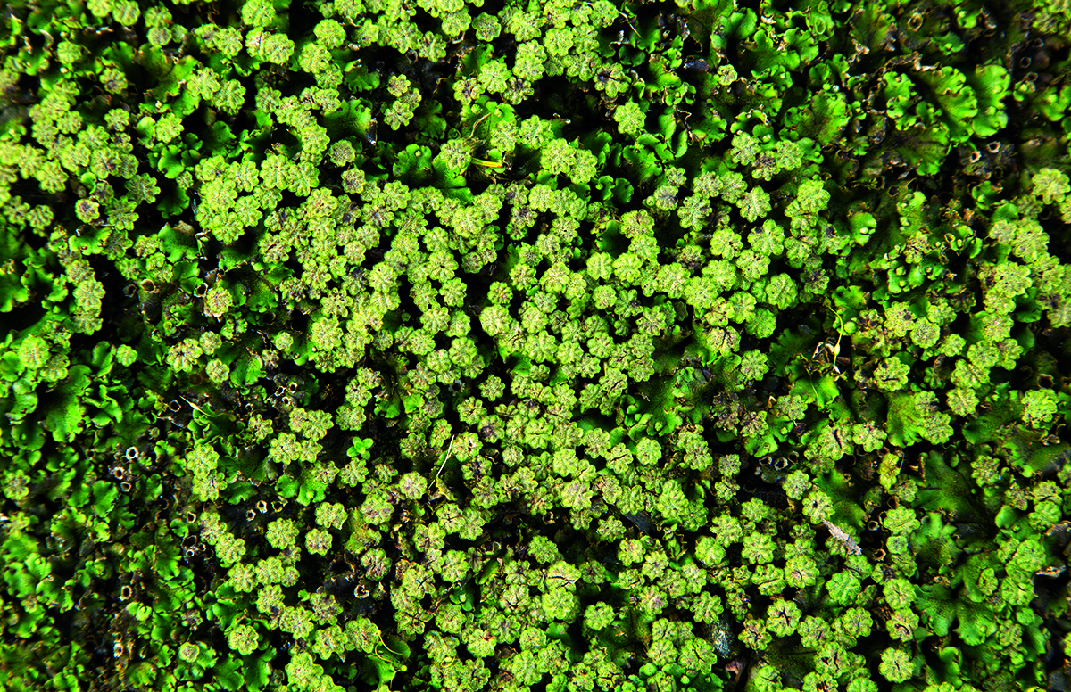 A photo of liverwort.